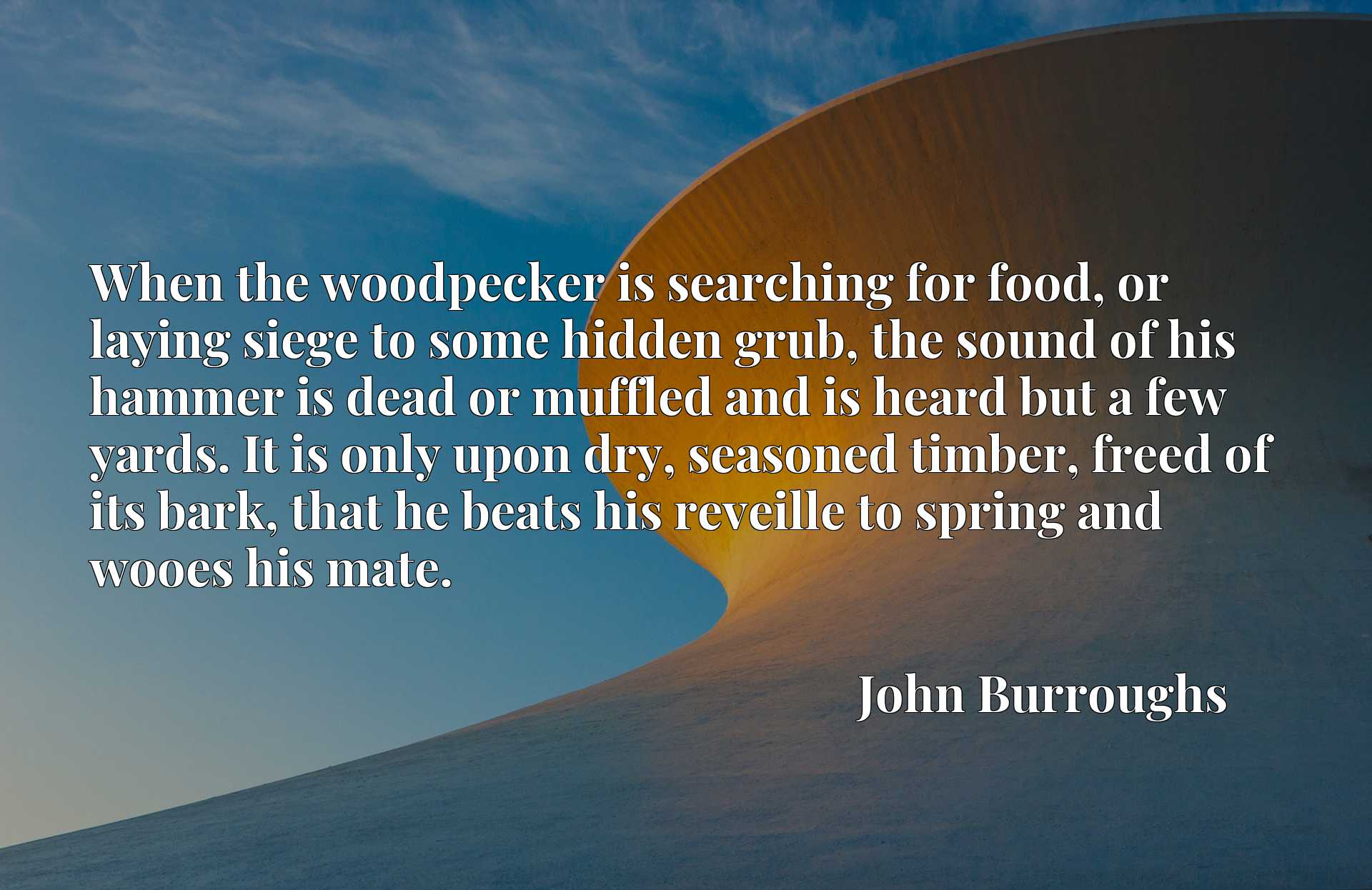When the woodpecker is searching for food, or laying siege to some hidden grub, the sound of his hammer is dead or muffled and is heard but a few yards. It is only upon dry, seasoned timber, freed of its bark, that he beats his reveille to spring and wooes his mate.
